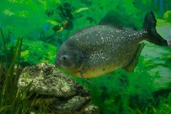 Piranha - predator fish. Of Amazon River Royalty Free Stock Image