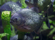 Piranha, predatory fish. Royalty Free Stock Photos
