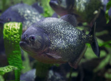 Piranha, predatory fish. Dangerous fish. Royalty Free Stock Photography
