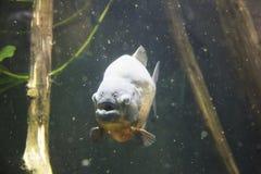 Piranha przy Montreal Biodome w Montreal Quebec Kanada fotografia royalty free