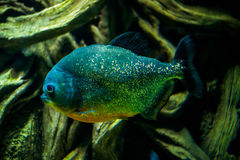 Piranha Pygocentrus Красно-bellied nattereri стоковые фотографии rf