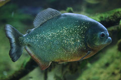 Piranha (Pygocentrus-piraya) stock foto