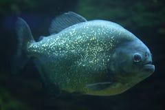 Piranha (Pygocentrus-piraya) stock foto's