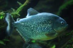 Piranha (Pygocentrus-piraya) stock afbeeldingen
