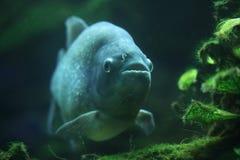 Piranha (Pygocentrus-piraya) stock fotografie