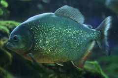 Piranha (Pygocentrus-piraya) stock afbeelding