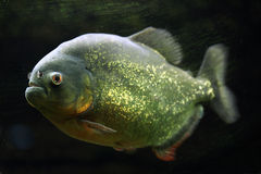 piranha Rosso-gonfiato (pygocentrus nattereri) Fotografia Stock Libera da Diritti