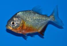 Piranha rouge de ventre Photographie stock libre de droits