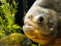 piranha Rouge-gonflé Images stock