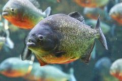 Piranha rouge (nattereri de Pygocentrus) Photographie stock libre de droits
