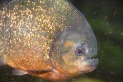 Piranha ryba Obrazy Royalty Free