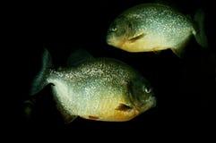Piranha's Stock Fotografie