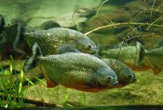 Piranha's Royalty-vrije Stock Foto's