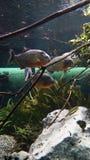 Piranha's die in zwermamazonas zwemmen stock fotografie