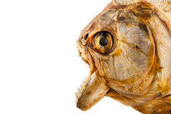Piranha's head Royalty Free Stock Photography
