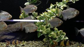 Piranha's in het aquarium stock video
