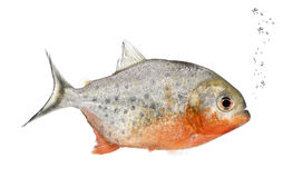 Piranha, Serrasalmus nattereri, Studioschuß Lizenzfreie Stockfotos