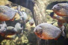 Piranha'svissen in het aquarium Roofzuchtige vissen in duidelijk water Vissen in dierentuin stock fotografie