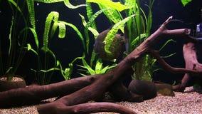 Piranha swimming in an aquarium stock video footage