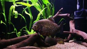 Piranha swimming in an aquarium stock footage