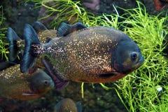 Piranha swimming in an aquarium royalty free stock image