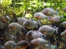 Piranha underwater Stock Image