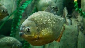 Piranha stock video