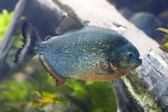 Piranha vermelho da barriga Foto de Stock