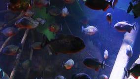 piranha Vermelho-inchada em raizes dos manguezais filme