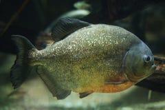 piranha Vermelho-inchada (nattereri de Pygocentrus) Fotografia de Stock Royalty Free