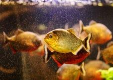 Piranha vermelho que nada debaixo d'água imagens de stock royalty free