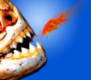 Piranha versus Goldfish. Stock Photos