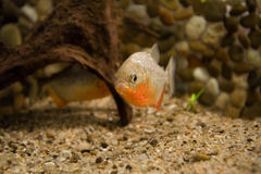 Piranha in the water Royalty Free Stock Photography