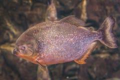 Piranha (Pygocentrus piraya) Stock Photography