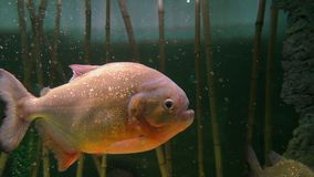 Piranha zoetwatervissen stock videobeelden