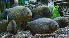 Piranhafische in einem Aquarium stockfoto