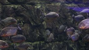 Piranhafische in einem Aquarium stock video footage