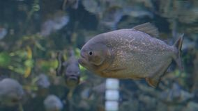 Piranhafische im enormen Aquarium stock video footage