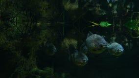 Piranhafiskbad som är undervattens- i den tropiska rainforestfloden lager videofilmer
