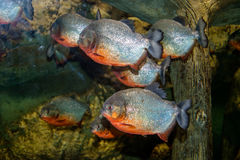 Piranhafisksimning i ett akvarium arkivbilder