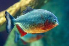 Piranhafiskslut upp undervattens- Arkivfoton