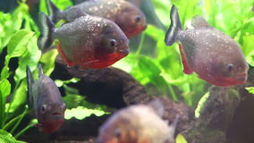 Piranhafrischwasserfische stock video