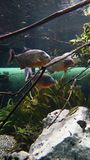 Piranhas που κολυμπά στα amazonas σμήνων στοκ φωτογραφία