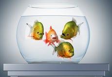 piranhas ομιλίας goldfish Στοκ εικόνες με δικαίωμα ελεύθερης χρήσης