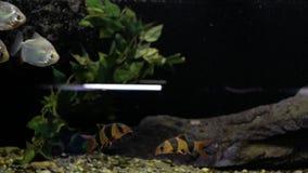 Piranhas в аквариуме сток-видео