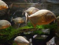 Piranhas в аквариуме Стоковое Изображение