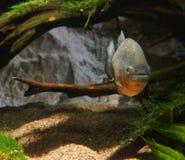 Piranhas в аквариуме Стоковое Фото