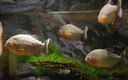 Piranhas в аквариуме Стоковое Изображение RF