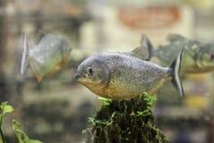 Piranhas в аквариуме Стоковые Фотографии RF