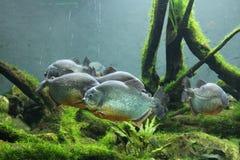 Piranhas на танке пресноводной рыбы на ЗООПАРКЕ Претории Стоковые Фотографии RF